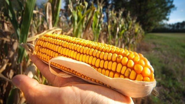 Les OGM pourraient contribuer au virage écologique de l'agriculture suisse. [andreamuscatello - Fotolia]