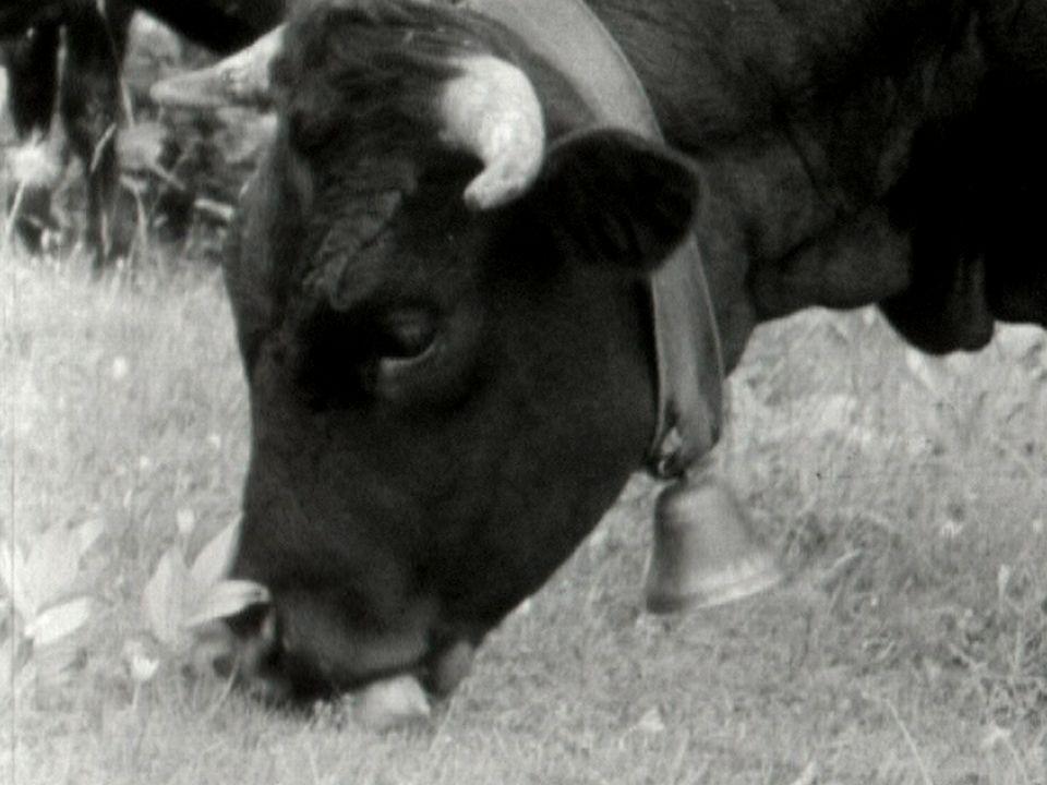 La vache améliorée, la production laitière des races suisses est insuffisante. [RTS]