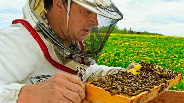 De plus en plus de personnes élèvent des abeilles. [Ludmila Smite - RTS]