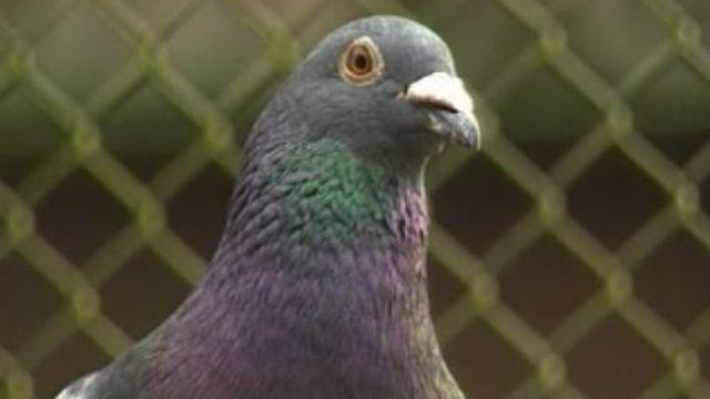 Un pigeon de l'armée suisse [RTS]