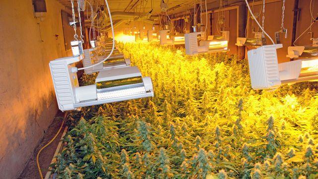Le cannabis était presque prêt à être récolté. [Police cantonale des Grisons]