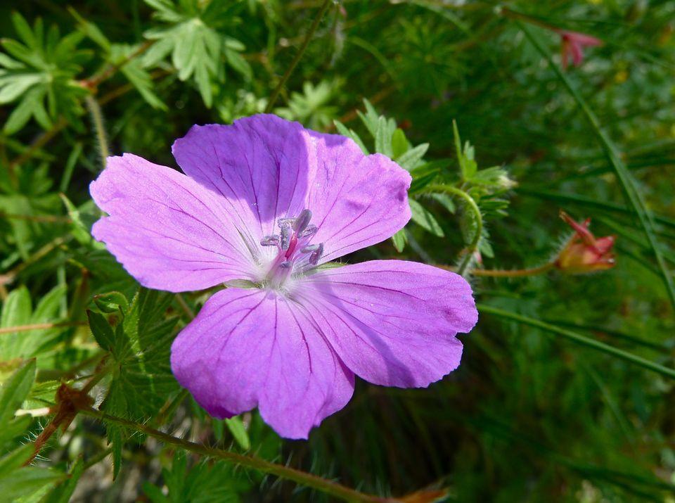 Fleur du jardin de St-Triphon. [Thibaut Kahlbacher - RTS]