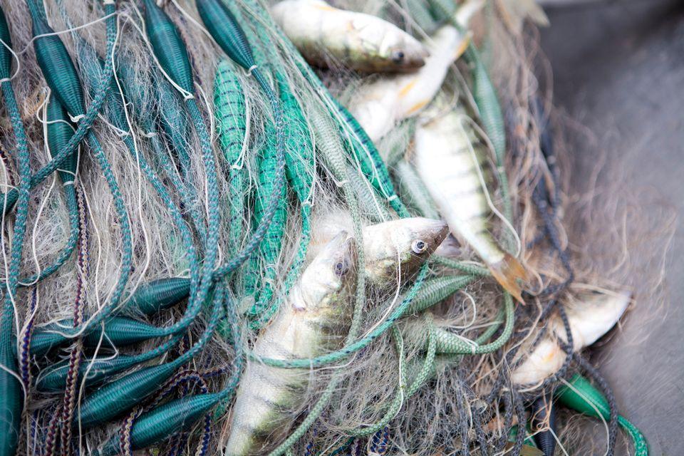 Les poissons du lac contaminés.
