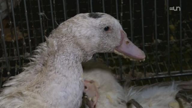 Interdire le foie gras ? [RTS]