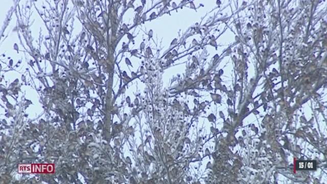 FR: un million de pinsons a colonisé la forêt de la Joux [RTS]
