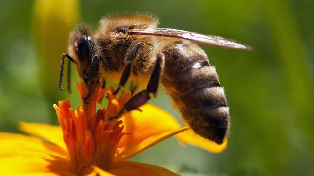 La reproduction des colonies d'abeille pâtirait de la plus grande vulnérabilité des abeilles mâles à un parasite intestinal. [gotoole - Fotolia]