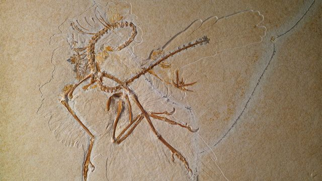 Le 11e Archaeopteryx lithographica qui est exposé au Muséum du samedi 21 décembre 2013 au dimanche 2 mars 2014. Volker Griener SMNK [Volker Griener - SMNK]