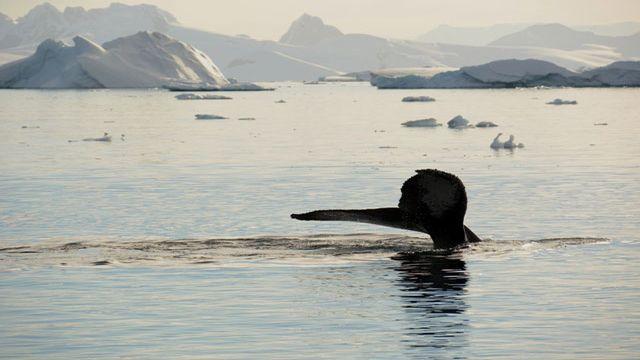 Une baleine vue depuis le pont du voilier Podorange. [Sylvie Cohen]