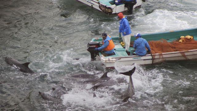 Le dauphin continue d'être pêché au Japon. [AP/Sea Shepherd Conservation Society/Keystone]