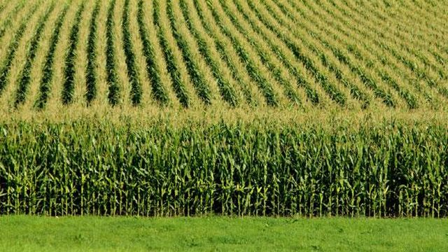 La flambée des cours du blé et du maïs font craindre une nouvelle crise alimentaire. [nicknacks - fotolia]