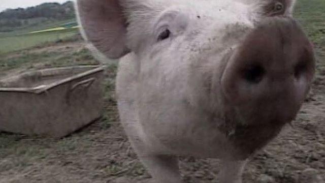 Le porcelet qui a inspiré le personnage de Porky. [RTS]