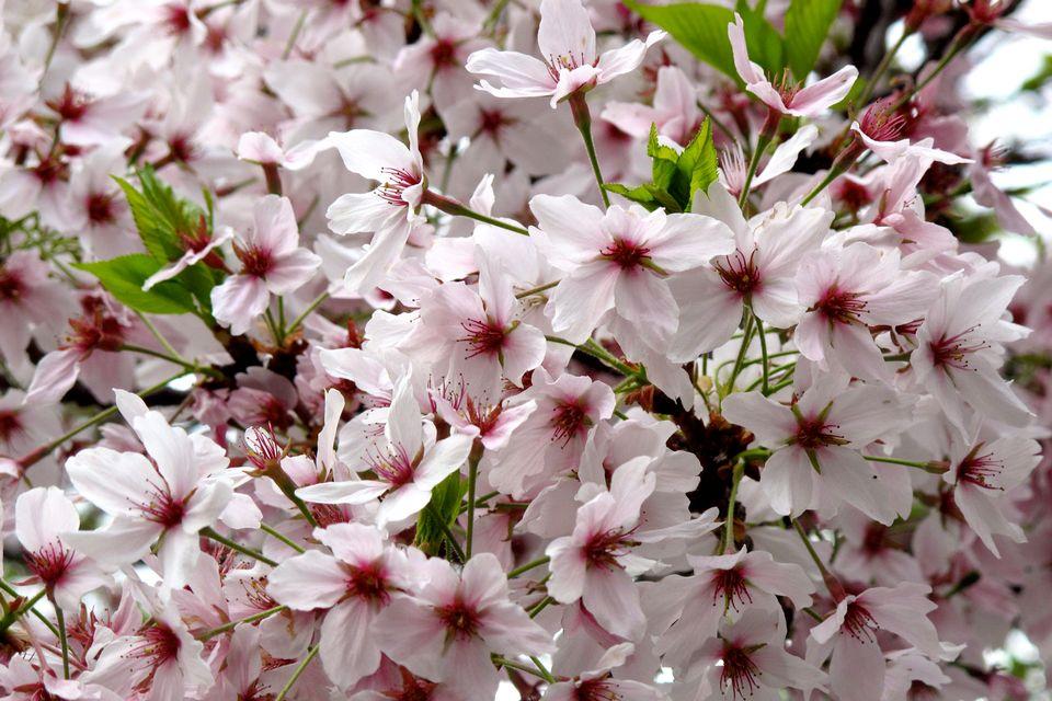 Sakura, fleur de vie [RTS]