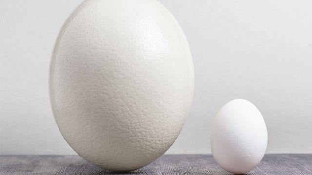Un œuf d'autruche et un œuf de poule. Efired Fotolia [Efired - Fotolia]