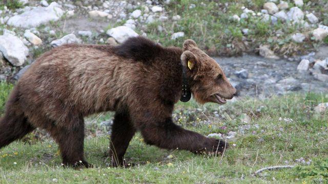 Aptrès M13 (ici en photo), un nouvel ours se balade dans les Grisons. [Jon Gross - Keystone]