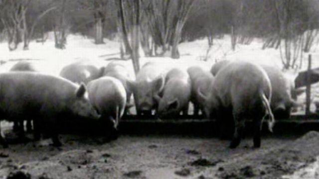 Des cochons en liberté dans la neige: quelle vie saine! [RTS]