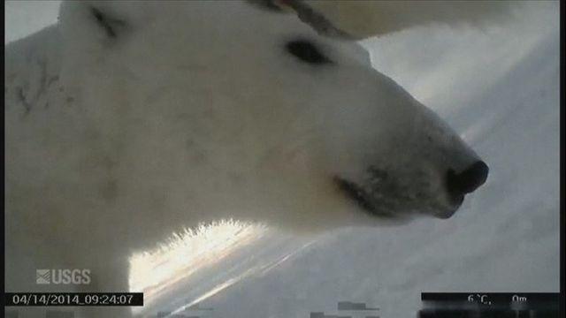 Les quatre ourses polaires équipées de caméras évoluaient en mer de Beaufort à Prudhoe Bay, dans le nord de l'Alaska. [USGS]