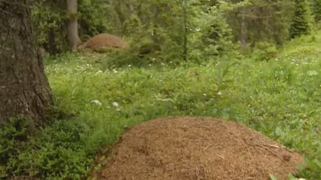 Parc naturel vaudois: fourmilières [RTS]