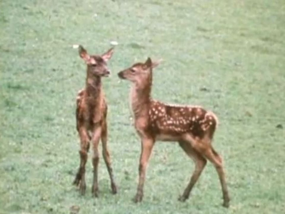 Parc National Suisse en 1971. Faons jouant. [TSR]