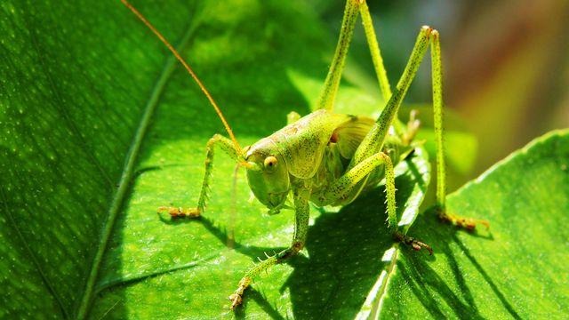 La grande sauterelle verte stridule. [photlook  - Fotolia]