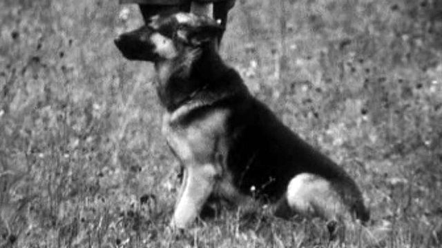 Le dressage des chiens bergers allemands pour des concours.