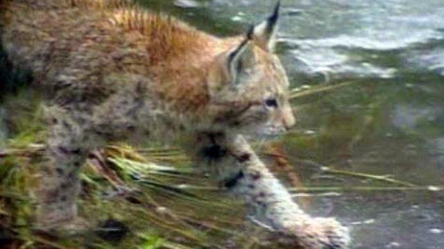 Des prédateurs importants du canton de Vaud, le lynx et le loup.
