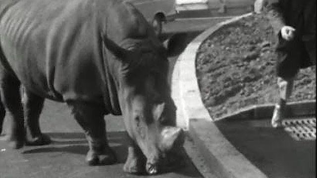 Rhinocéros [RTS]