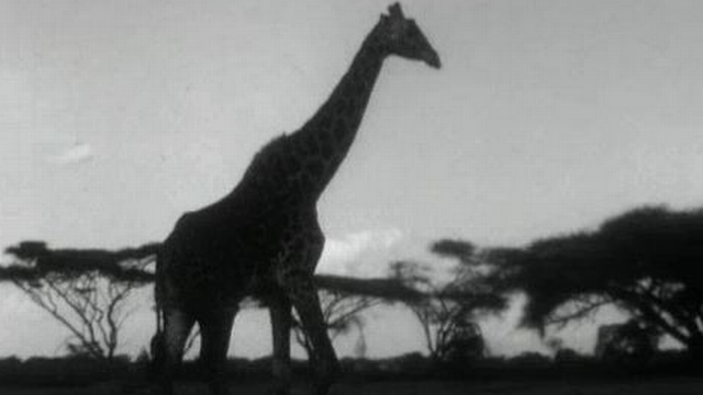 En safari au Kenya en 1962. [RTS]