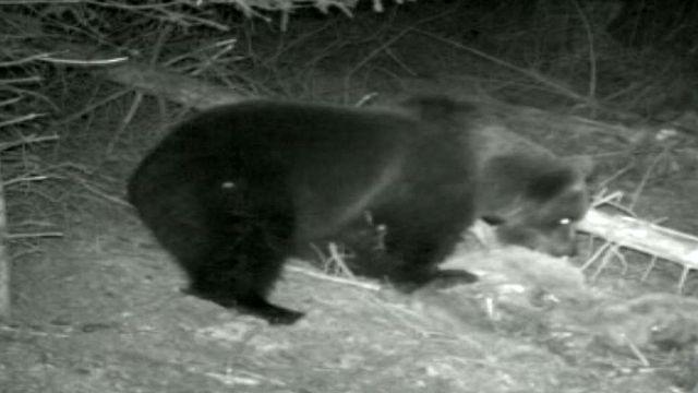 L'ours de retour en Suisse en 2008 est abattu sur décision des autorités.