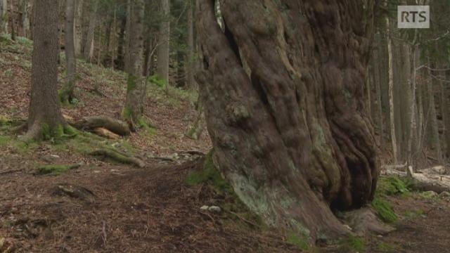 Le plus vieil arbre de Suisse [RTS]