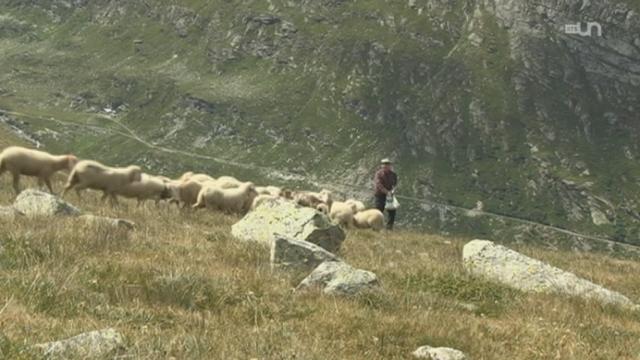 Moutons en voie d'extinction [RTS]