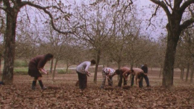 Ramassage de noix en 1975. [RTS]