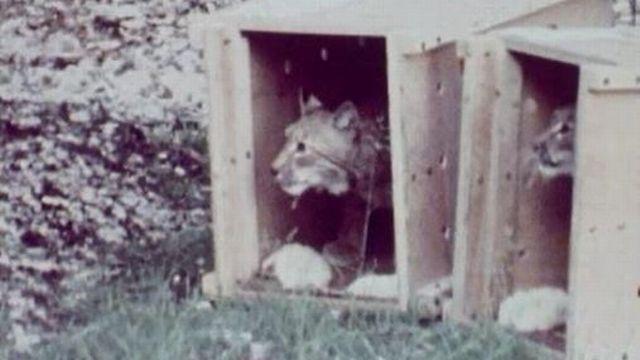 Coup d'oeil prudent du lynx avant le départ vers la liberté. [RTS]