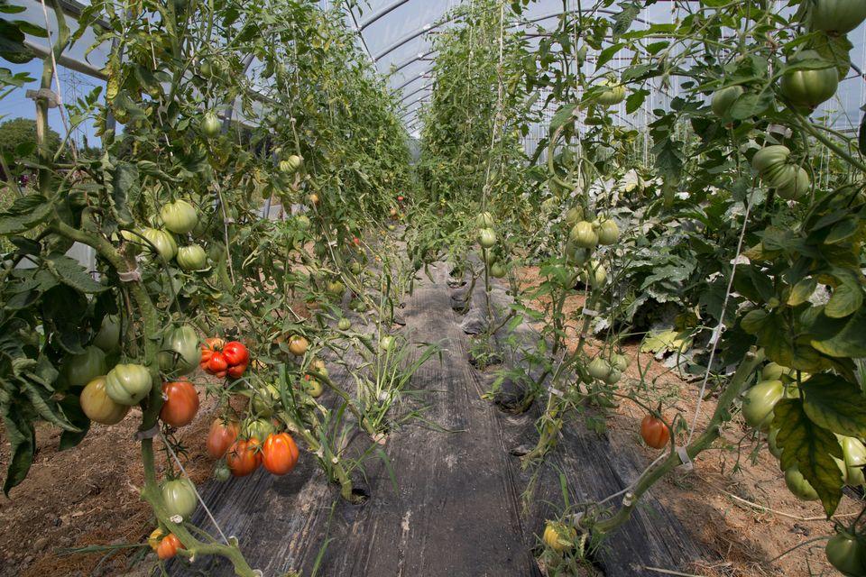 On trouve ici des tomates de toutes les formes et de toutes les couleurs. [Sébastien Foggiato - RTS]