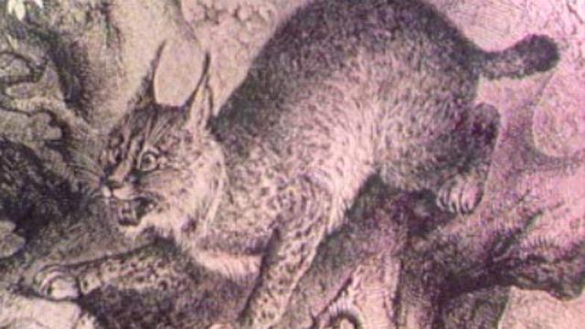 Représentation du lynx. [RTS]