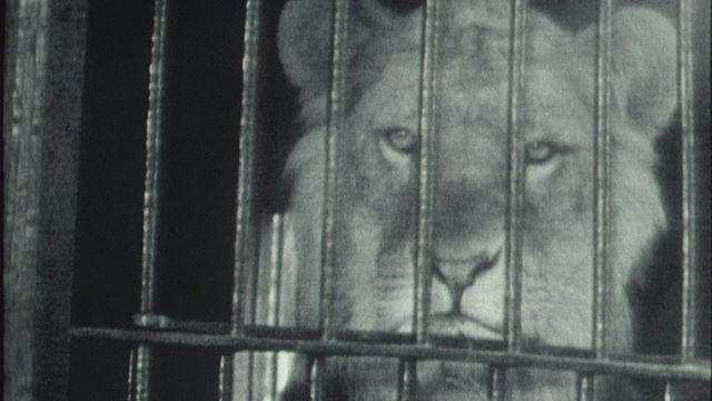 Des lions à la campagne. [RTS]