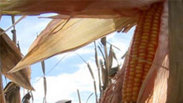 L'Espagne championne du maïs OGM [arte.tv]