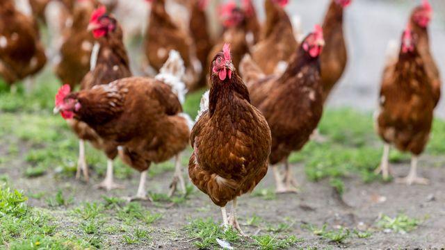 Les antibiotiques sont largement utilisés dans l'élevage d'animaux. heebyj Fotolia [heebyj - Fotolia]
