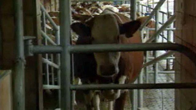 La crise de la vache folle est un nouveau coup dur pour les paysans.