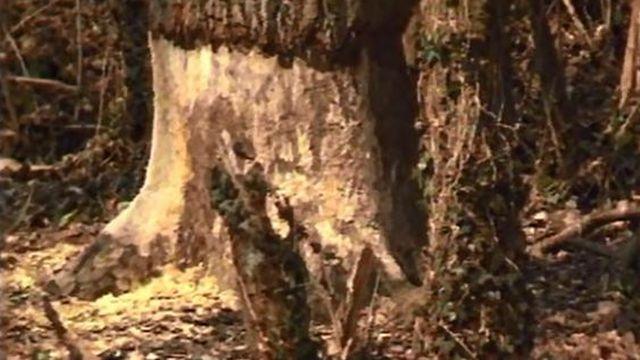 Le bas des troncs rongés: y aurait-il un castor dans le coin? [RTS]