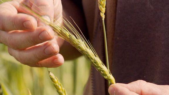 Intolérance au gluten: et si on s'était trompé de coupable?