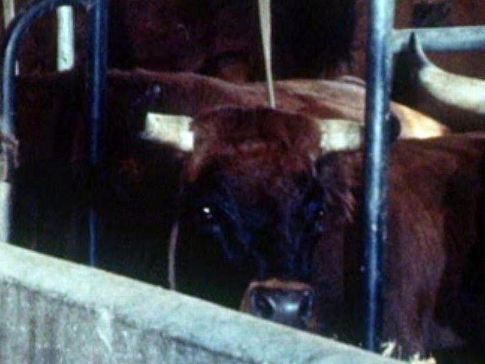 Quel avenir pour la race des vaches du val d'Hérens?