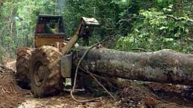 L'exploitation du teck menace la forêt vierge en Birmanie.