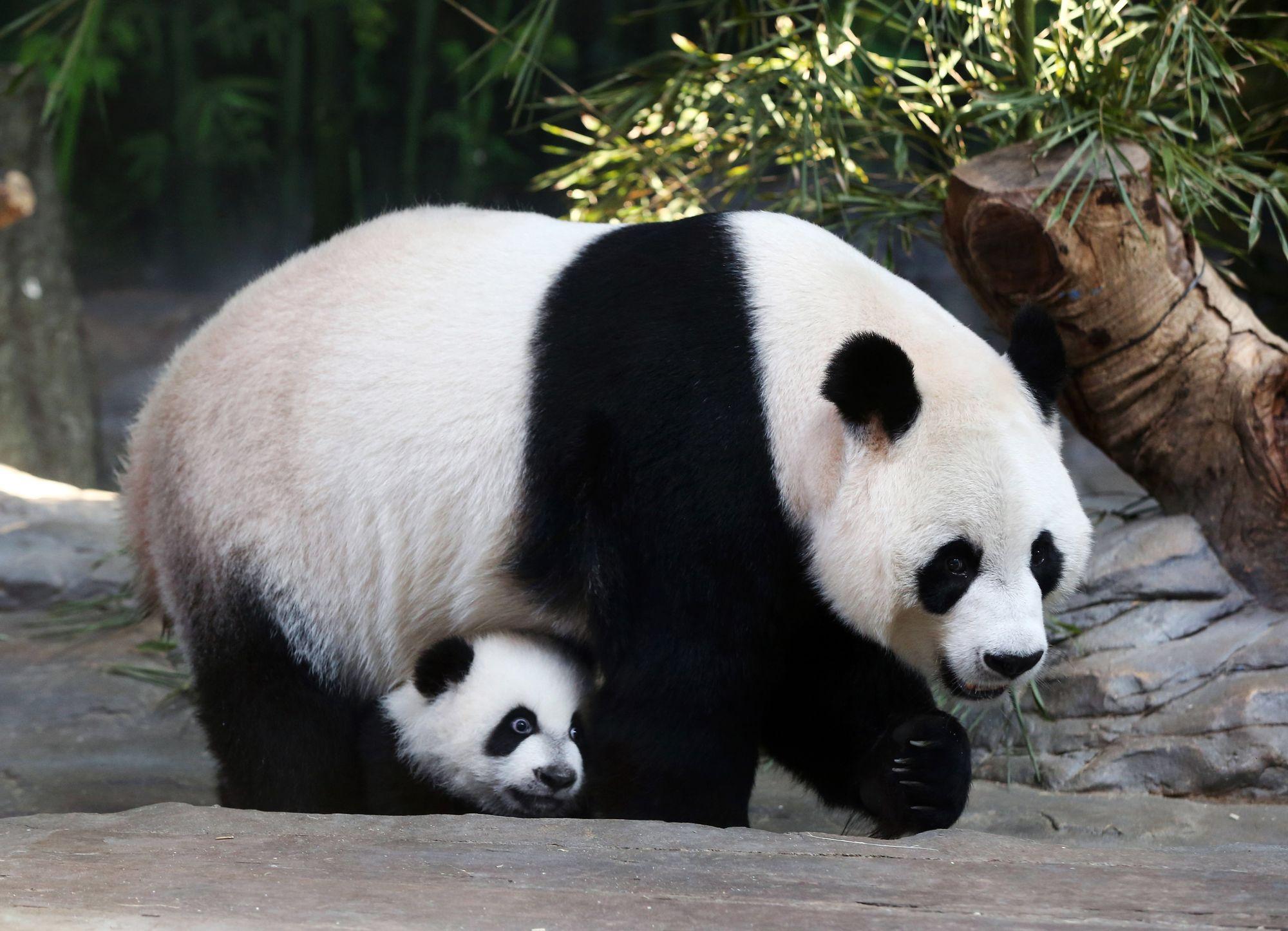 la population de pandas g ants l 39 tat sauvage augmente en chine sciences tech. Black Bedroom Furniture Sets. Home Design Ideas