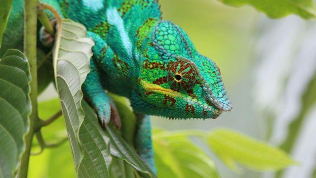 Les caméléons sont célèbres pour leurs changements de couleurs. cb_cb Fotolia [cb_cb - Fotolia]