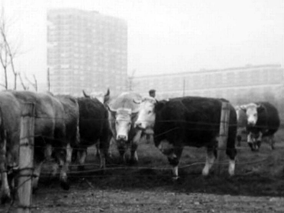 Le nombre de vaches laitières diminuent dans le canton de Genève.