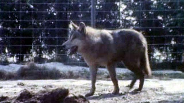 Des témoins disent avoir aperçu des loups près d'Henniez.