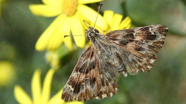 La Grisette, papillon qui était devenu rare, a largement profité de la mise en place de jachères en milieu agricole. [Eric Sylvestre - http://lespapillons99.ifrance.com]