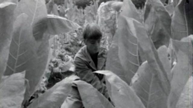 La récolte de tabac a été bonne pour les planteurs broyards. [RTS]