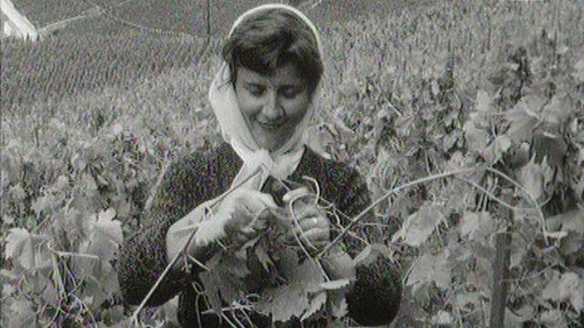 Les effeuilleuses de la Vallée d'Aoste travaillant dans les vignes du Lavaux en 1966. [RTS]