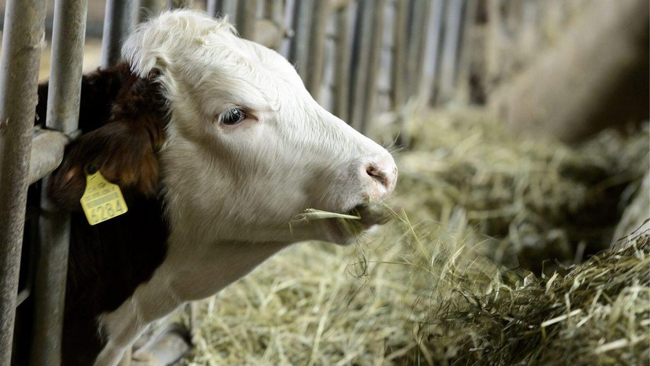 Les veaux coûtent presque plus cher à engraisser que ce qu'ils peuvent rapporter comme viande. [Laurent Gilliéron - Keystone]